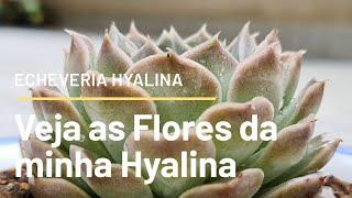 ECHEVERIA HYALINA e suas flores   ⭐ Fran natura