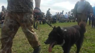 Всероссийская выставка охотничьих собак, Тула, 2017г  РЕЛ, кобели, старшая возрастная группа