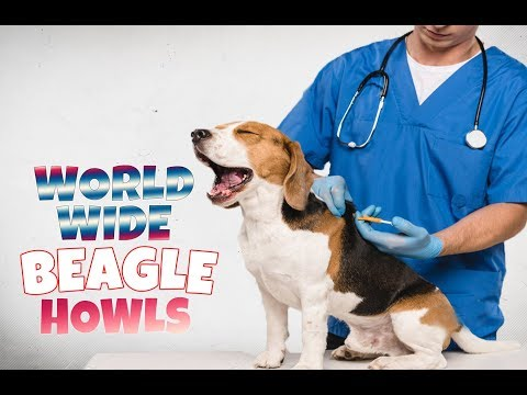 200 BEAGLE HOWLS AND BARKS COMPILATION FROM ALL OVER THE WORLD