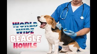 Beagles From All Over The World Bark And Howl In One Compilation!