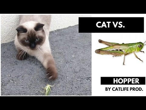 Cats scared of Hopper - Cats Vs Hopper - FUNNY CATS