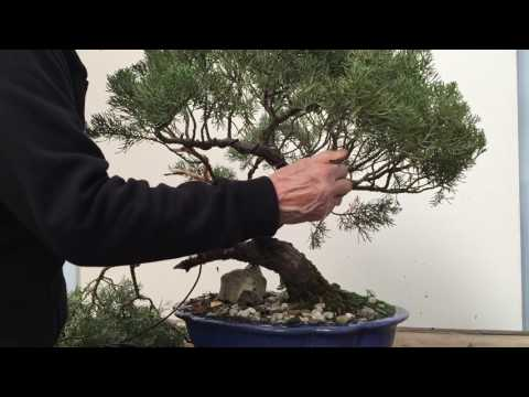 Styling and repotting an old Juniper bonsai tree | Peter Chan