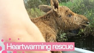 Moose Calf Rescued from Lake in Canada