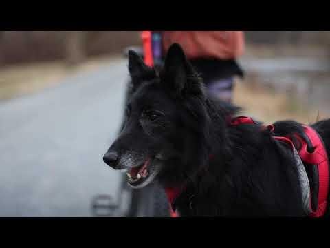 Belgian Shepherd Groenendael - Iron Paws 2020