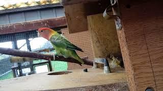 Papugi #3 Stan hodowli, ciekawostki