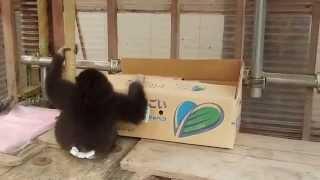 志村動物園で 瀧本美織ちゃんが育てた猿(シロテテナガザル)の ももた...