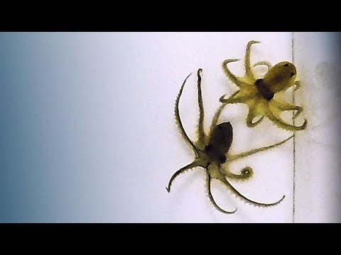 How octopuses battle each other | DIY Neuroscience, a TED series