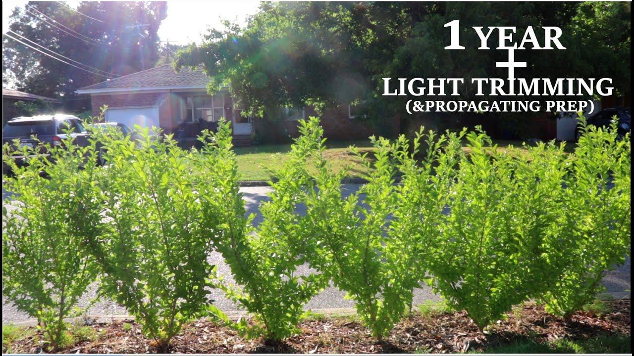 Download Privet Hedge 1 Year + Light Trimming(2020)