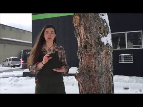 CSCH Botany Break - Ponderosa Pine