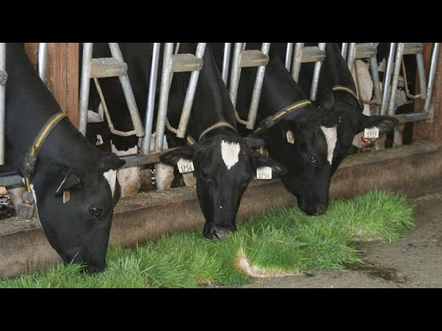 Tips for maximum milk production in dairy farming
