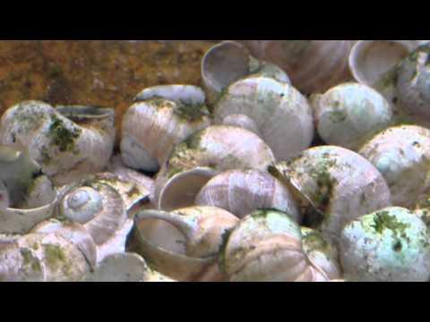 Tanganyika shell dwellers community tank: similis, brevis, compressiceps shell - Muszlowce.pl