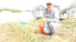 Чем подкормить  лук,  чеснок весной? Конечно, только натуральным удобрением.