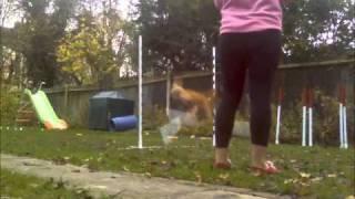 Amazing Chihuahua Agility