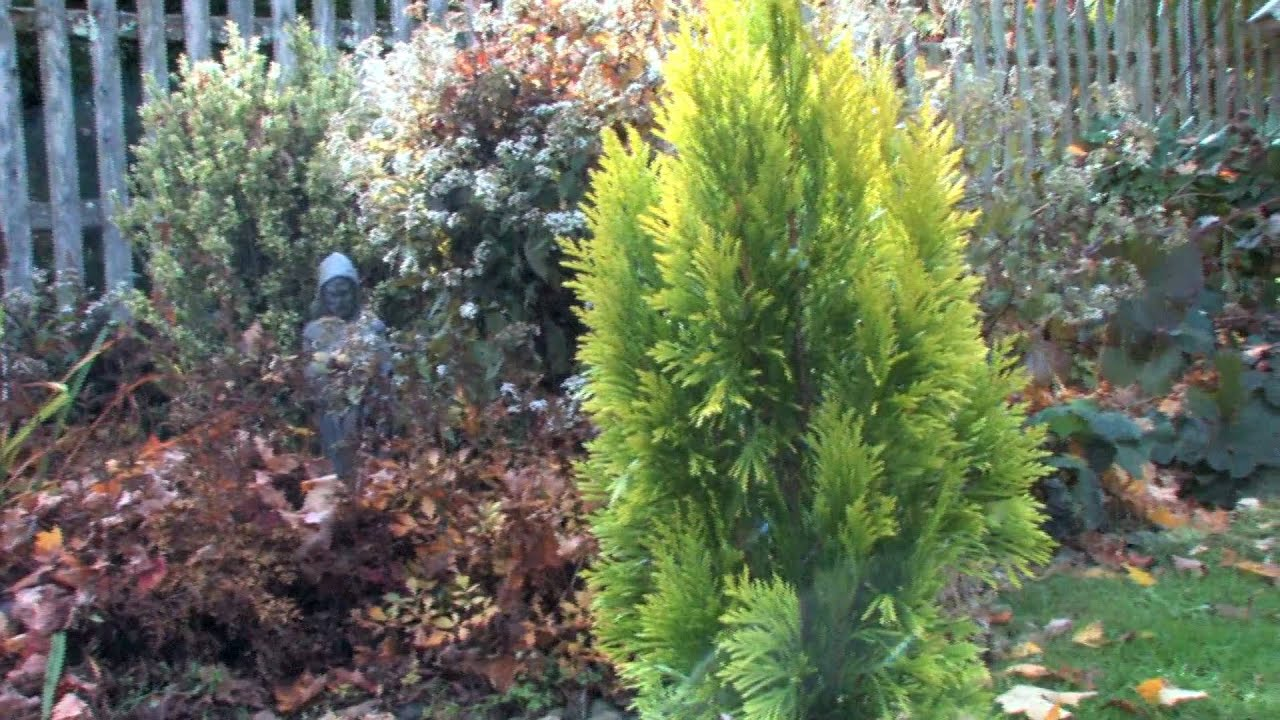 Growing goldy arborvitae