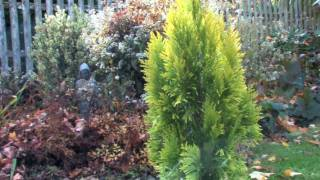Growing Goldy Arborvitae