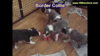 Border Collie, Puppies, For, Sale, In, Butte Silver Bow, Montana, Mt, Helena, Havre, Kalispell
