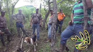 Cacería de Venado con perros OrejasDeOr...