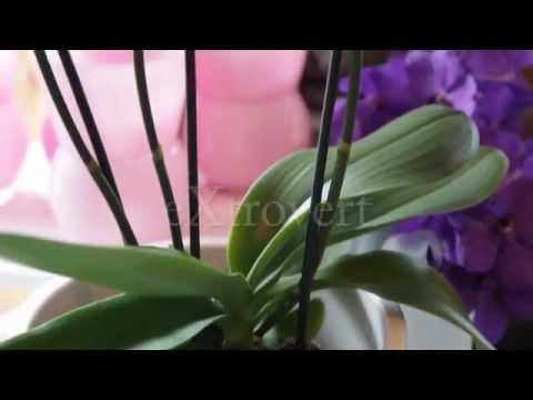 orchidee aphrodite xl pflege
