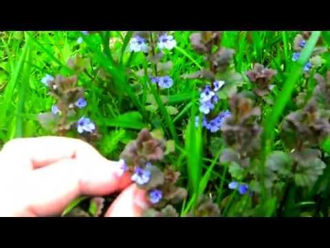 Мочегонные травы при отеках