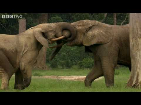 Young Elephants At Play - Natural World: Forest Elephants - Highlight - BBC Two