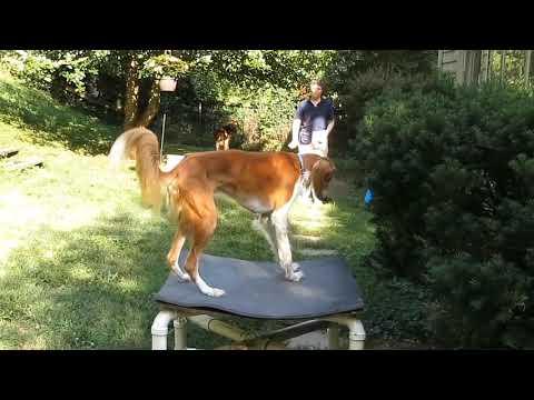 Quiz the saluki Trick Dog Champion application