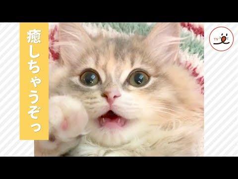 めちゃかわ子猫に癒される💖 ラブリーすぎる子猫の鳴き声にきゅん😽【PECO TV】