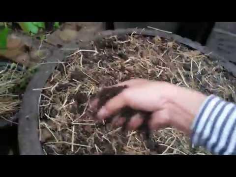 ปลูกผักสวนครัวในกระถาง ตอน3(วิธีปลูกผักชีลาว) by tang