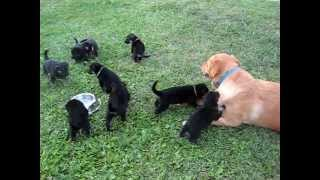 German Shepherd Puppies Playing With Lab Mix