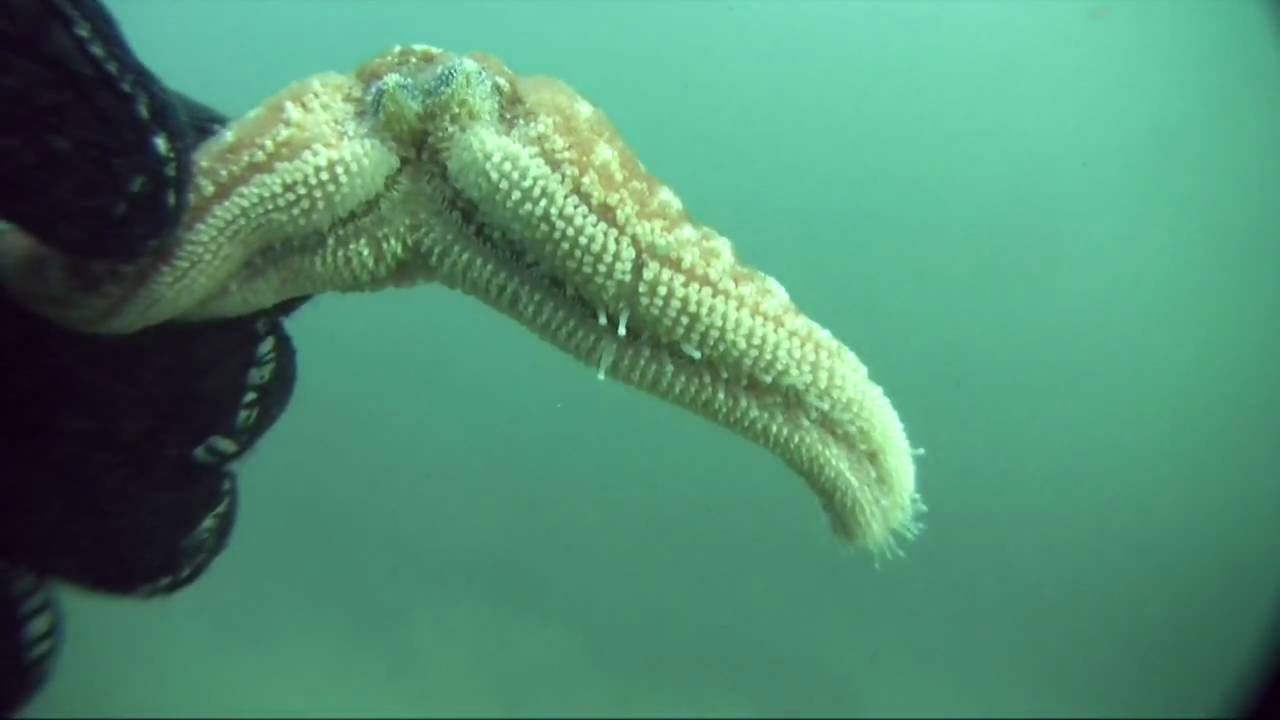 Sea cucumber asexual reproduction regeneration