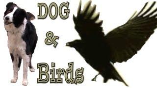 Angry Dog Vs Angry Birds