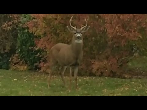 Buck wild: 2 dog owners attacked by deer in B.C.