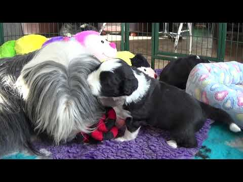 Bearded Collie puppies - 17 March 2019 - 3 weeks old