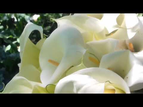 Repeat Cortando Flores Alcatraces En El Monte De Xonocuautla