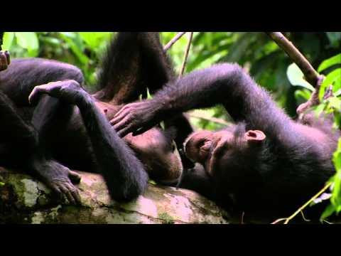 chimpanzes-bande annonce du film