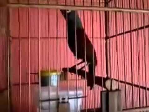 Suara Kicau Burung Poksai Hitam Medan
