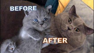 British Shorthair Azul PISHOO MARIO | Antes y después de