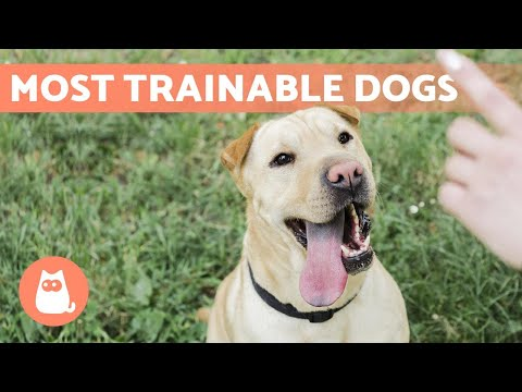easiest-to-train-dog-breeds-🐶✅-top-10