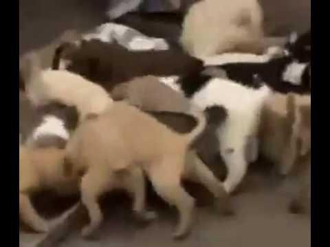 nguyễn sỉnh mở trang trại nuôi chó cỏ.FLV
