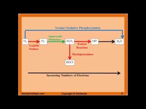 Free Radicals, Glutathione, Superoxide NADPH Oxidase N Acetylcysteine CGD MPO CCl4