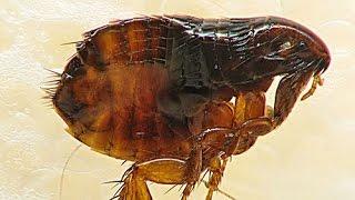 como matar as pulgas muito facil com armadilha