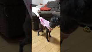 Cat Pulls Dog By the Shirt - 1007088