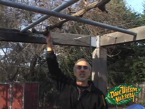 How To Grow Grapes On An Arbor Youtube