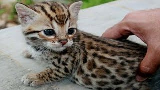 Cute Bengal Kittens And Cats Doing Funny Things Compilation