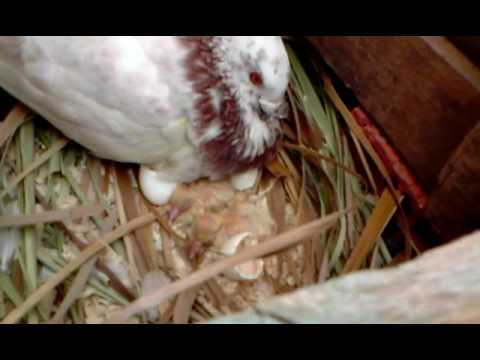 two baby pigeons hatching .... newborn today (14/05/2009 ...
