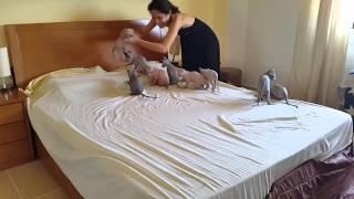 شاهد: قطط تساعد أصحابها في ترتيب السرير