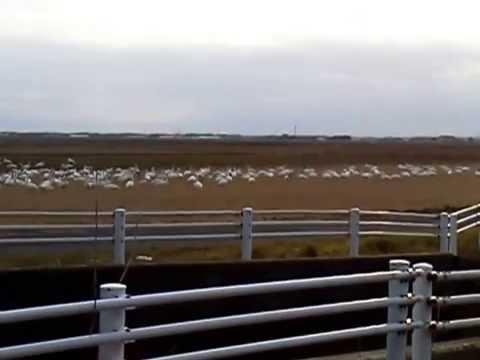 20150207千葉県東庄町夏目の堰(八丁堰)のハクチョウ白鳥スワンSWANS