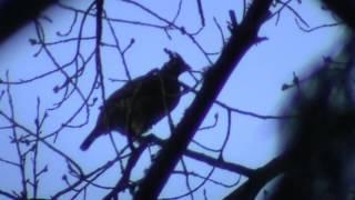 Рябушок. Видео охота на рябчика с манком 20мар16г