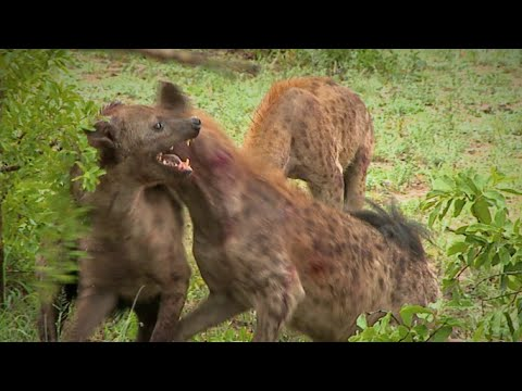 Hyena rips off another hyena