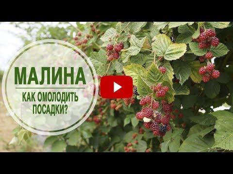 Малина 🌱 Как правильно омолодить посадки малины? 🌟 Полезные советы эксперта hitsadTV