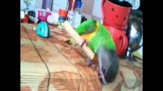 Сенегальский попугай из Планета Животных